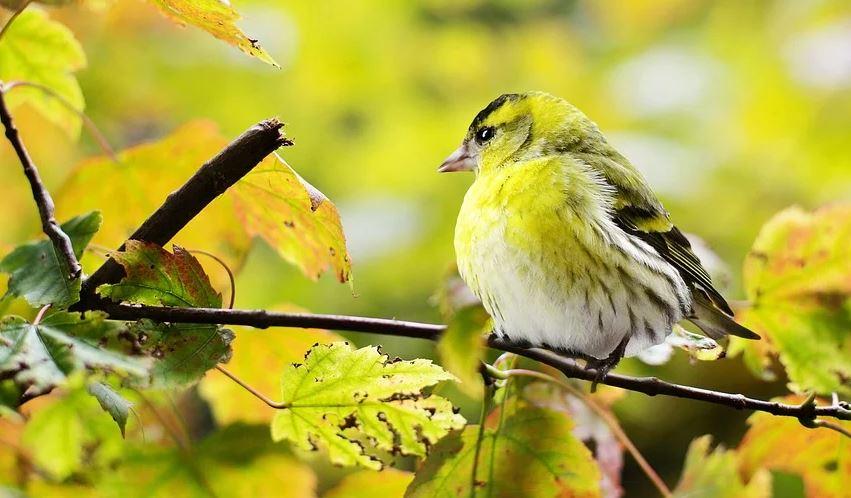 أنواع العصافير التي يمكن تربي تها في المنزل وطرق تربي تها تبسيط